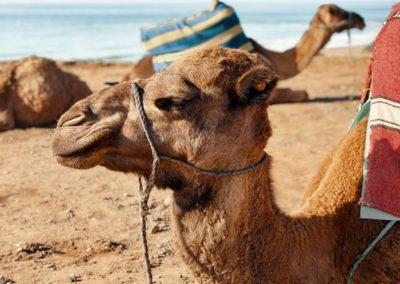 Azul beach camels